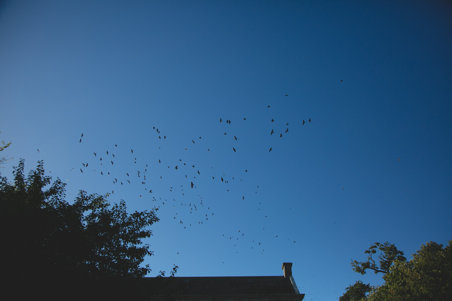 Flock of birds fly overhead