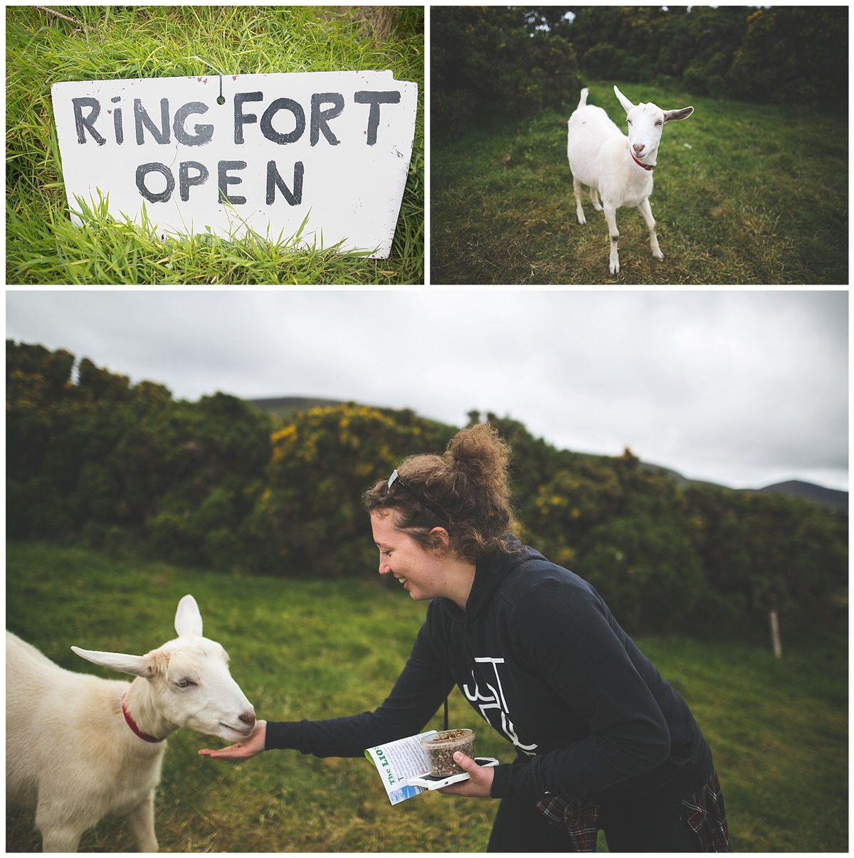 Goat feeding at a Ring Fort in Kerry
