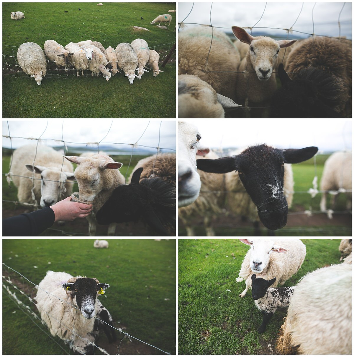 Sheep & lamb feeding during lambing season in Ireland