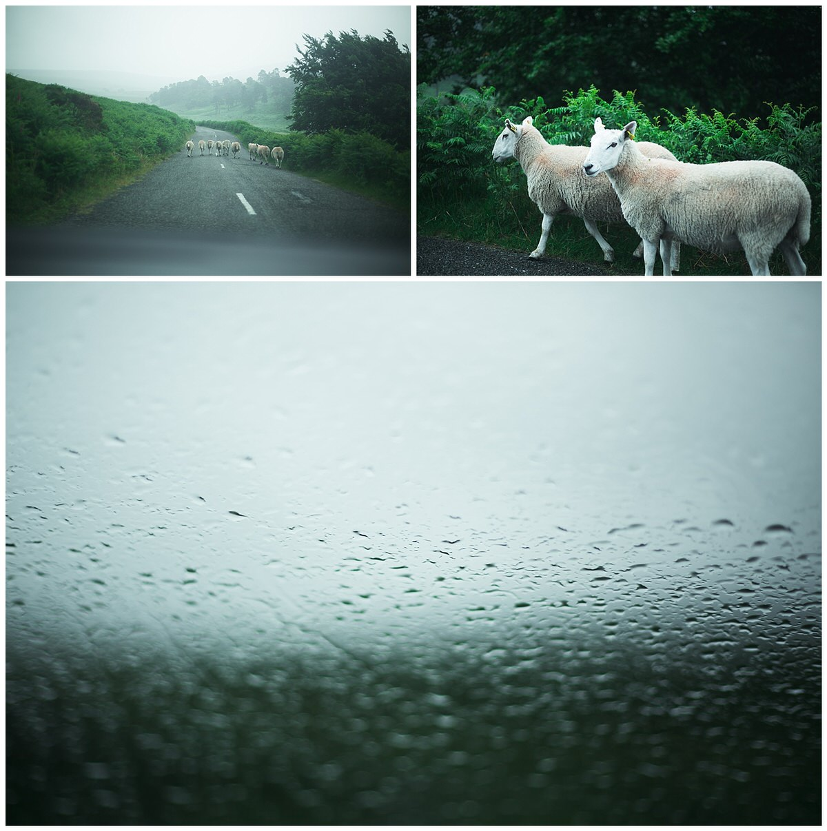 Sheep running along a mountain road in wicklow on a typically rainy summer in Ireland